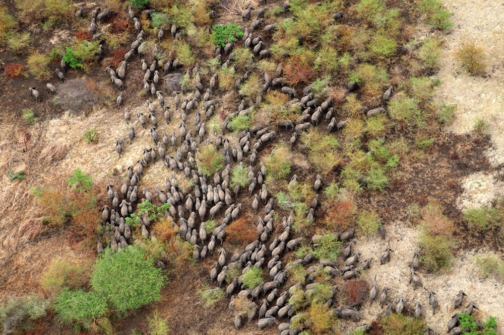 elephant-herds-zakouma