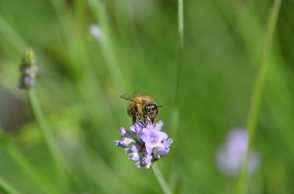 honey-bee-on-lavender