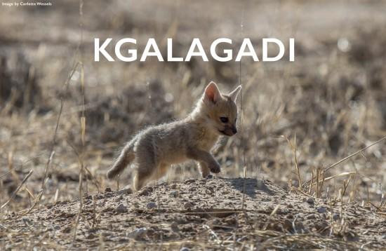 2-Kgalagadi-cape-fox-pup