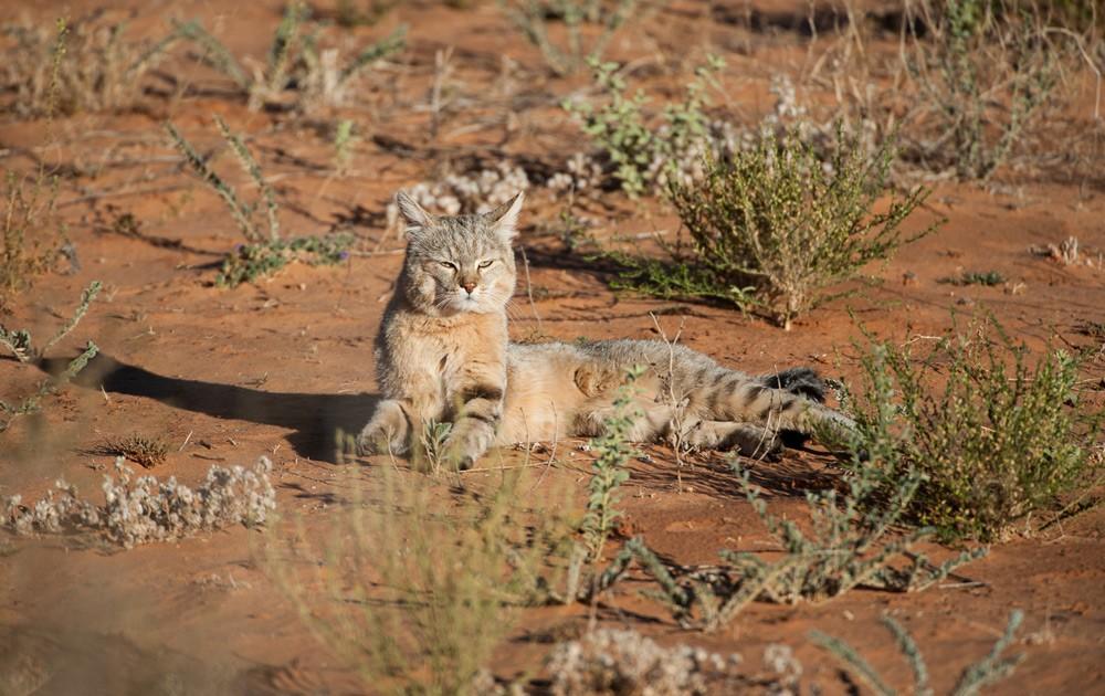 african-wildcat-corlette-wessels
