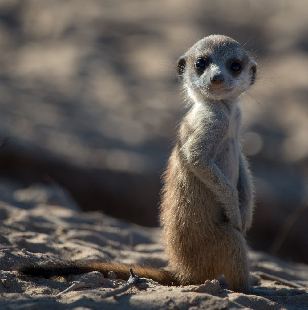 meerkat-corellte-wessels-kgalagadi