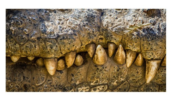 Crocodile-teeth-samuel-cox