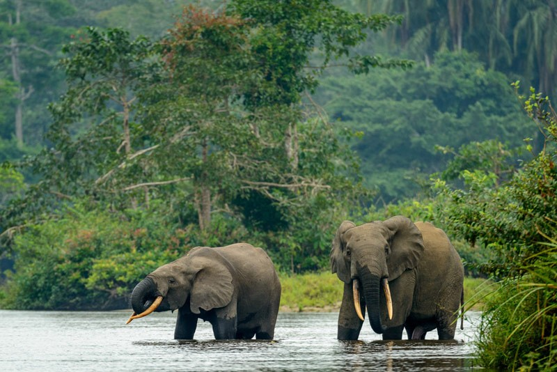 congo-basin-elephants