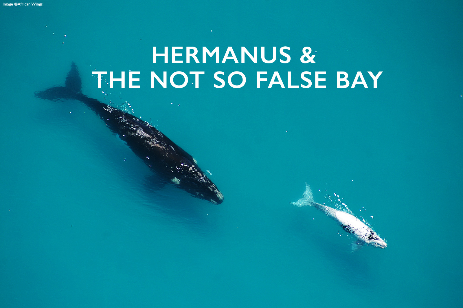HERMANUS-AND-FALSE-BAY-WHALES-