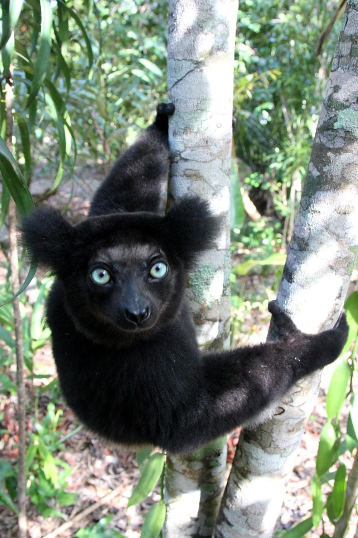 Indri-3