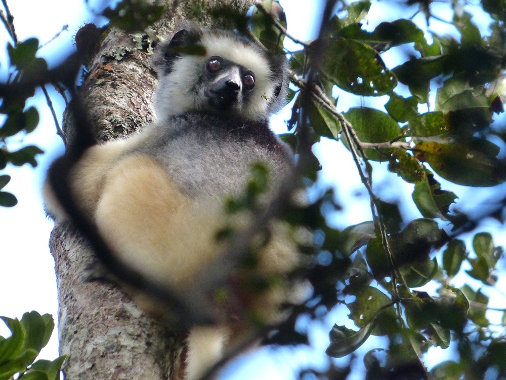Lemur-Diademed-Sifaka-Saha-Forest-Camp-