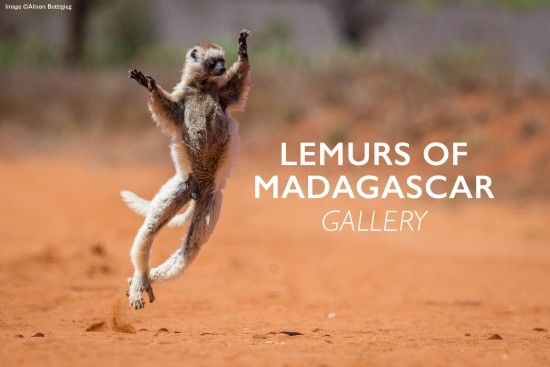 Lemurs-of-madagascar-gallery-header