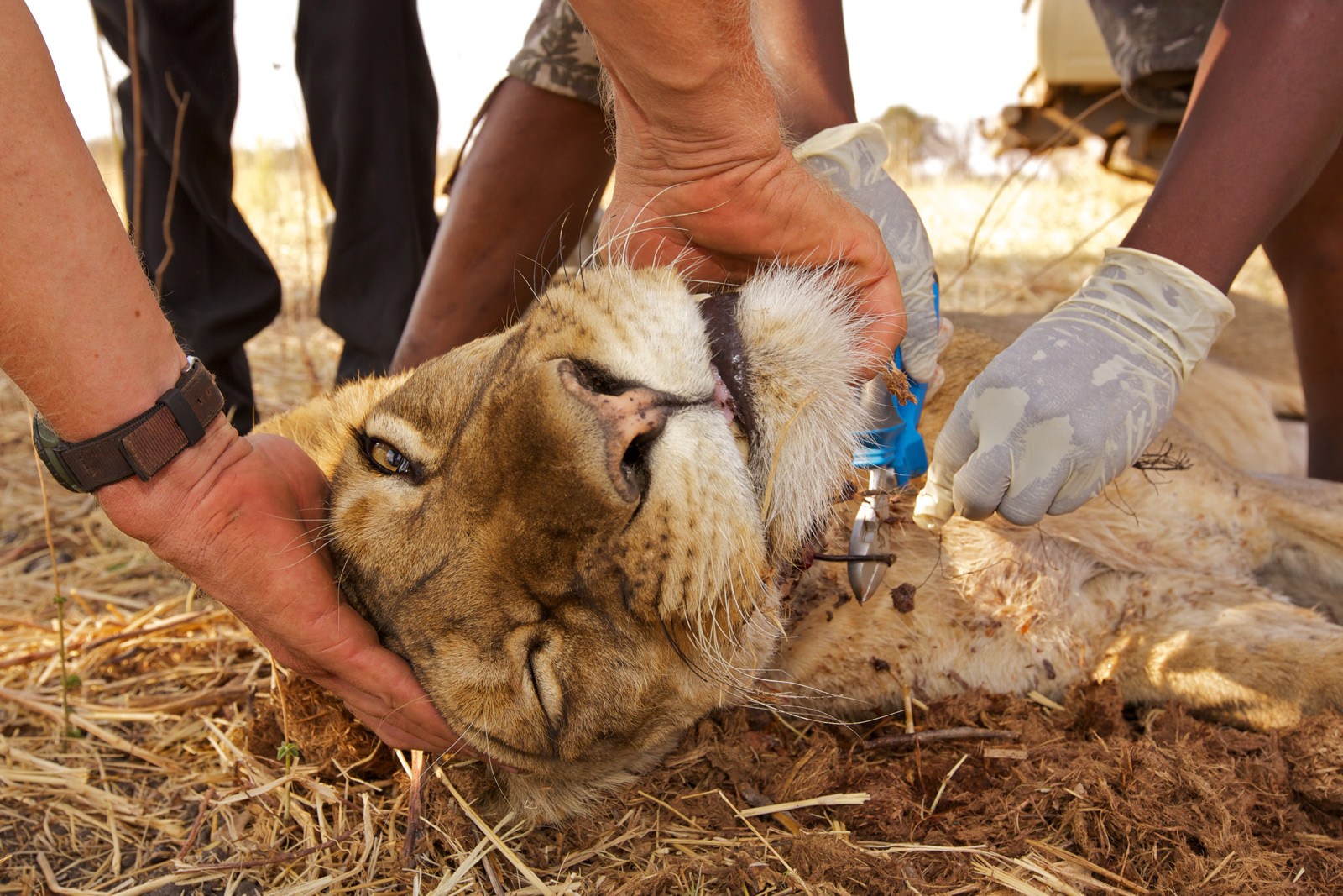 South-Luangwa-189-(Chowo-Lioness-Snare-Removal)