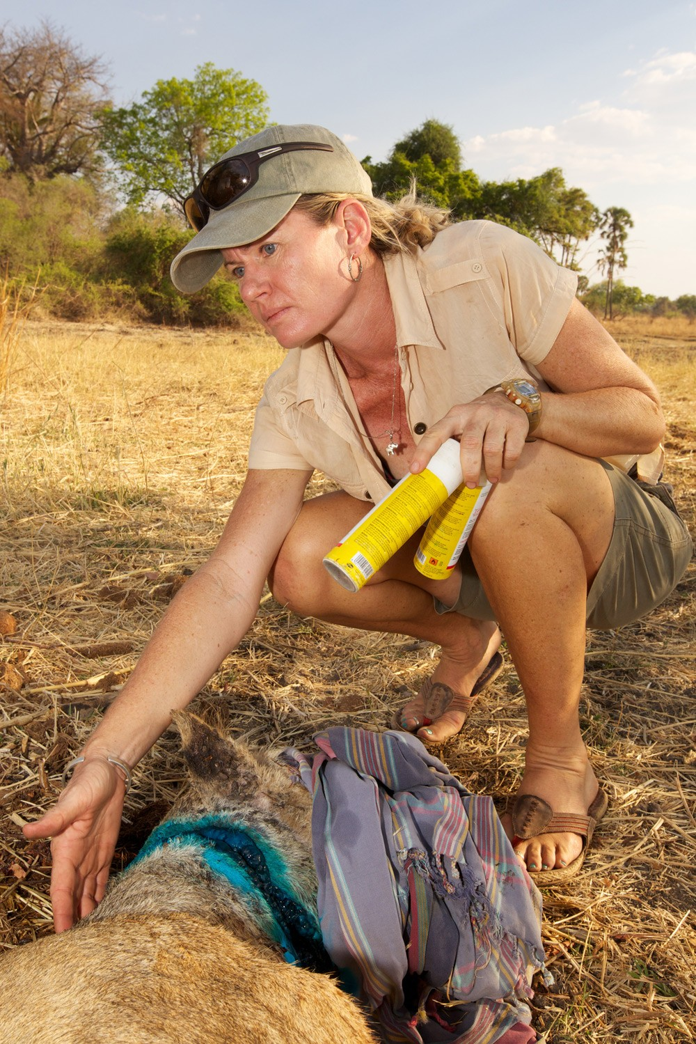 South-Luangwa-199-(Chowo-Lioness-Snare-Removal)