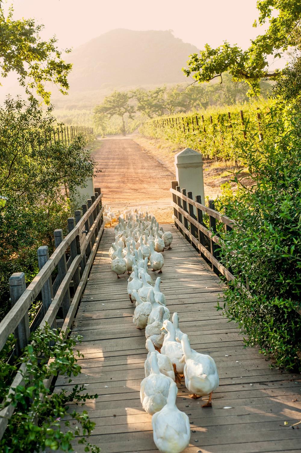 Working-ducks-cross-the-bridge-to-the-vineyards,-cape-winelands-babylonstoren