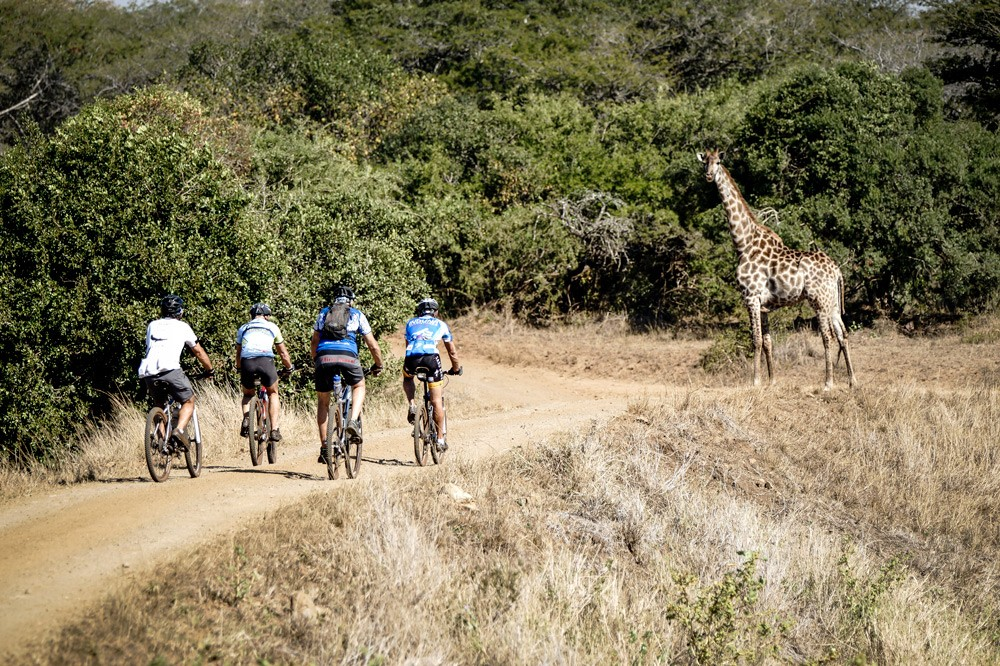 A giraffe cheers on the cyclists ©Jacques Marais