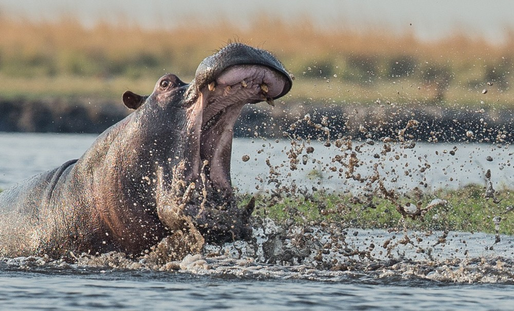 A hippo has a good splash in the Chobe River