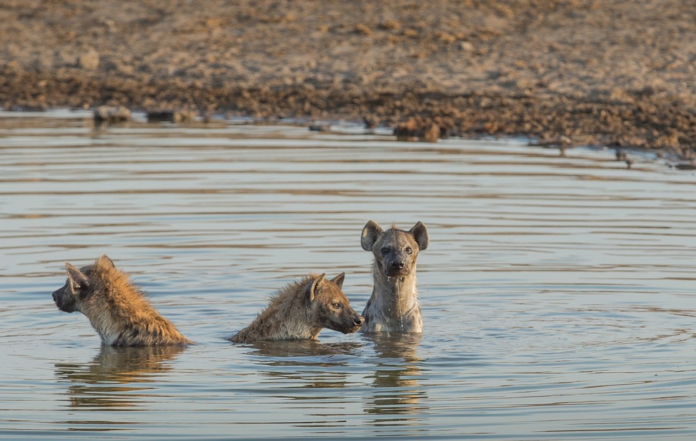Hyenas take a dip to cool down.