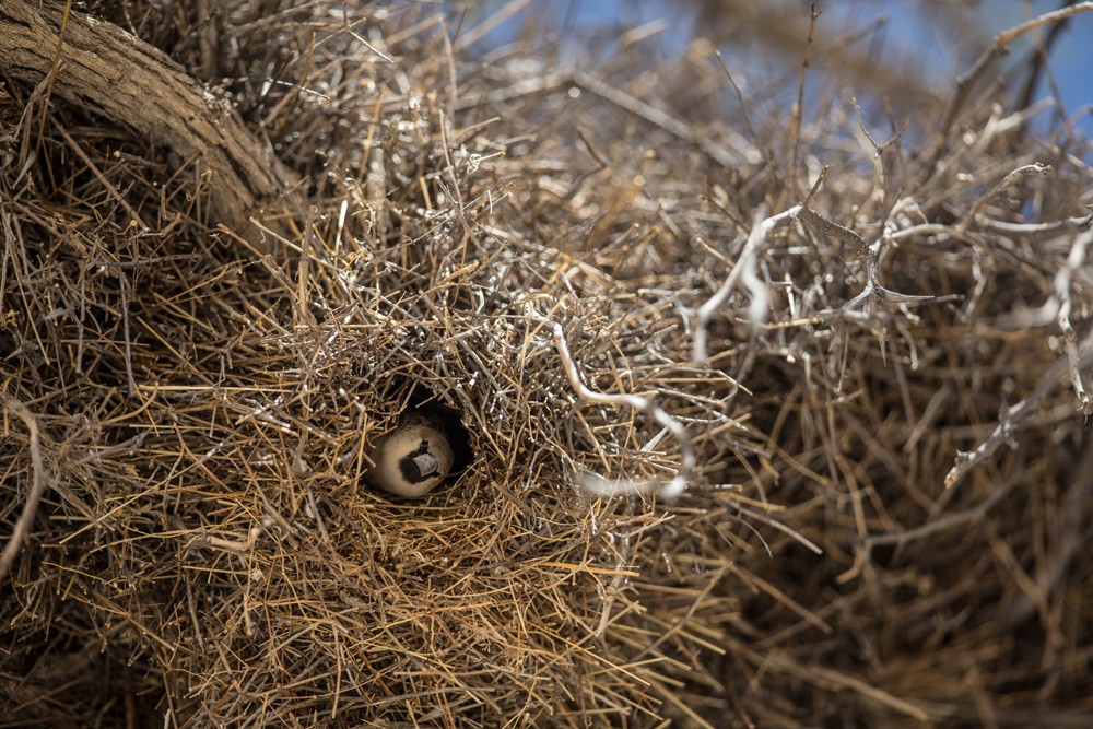 sociable-weavers-nest-namibia