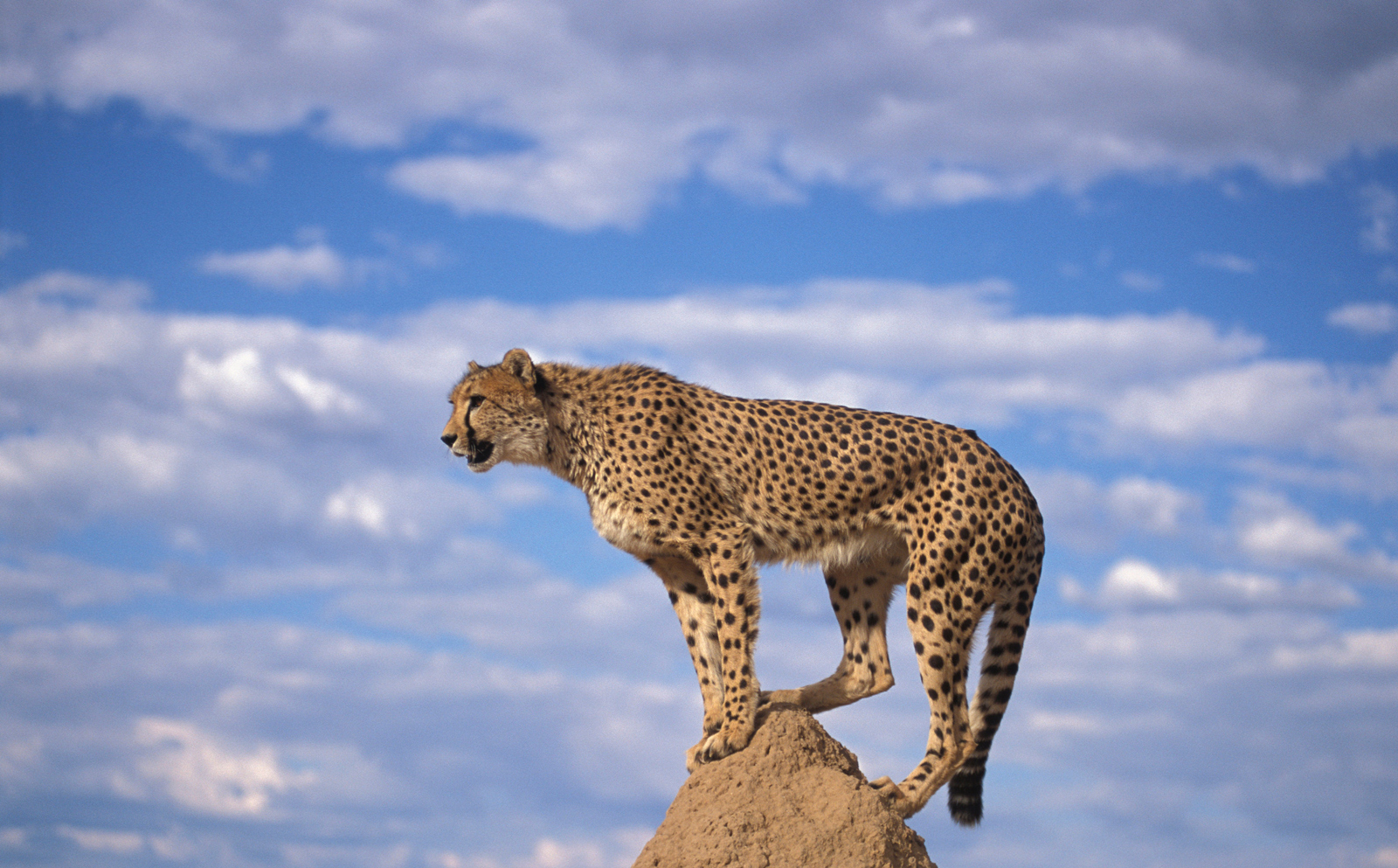 A cheetah on an anthill ©Andrew Harrington, Cheetah Conservation Fund