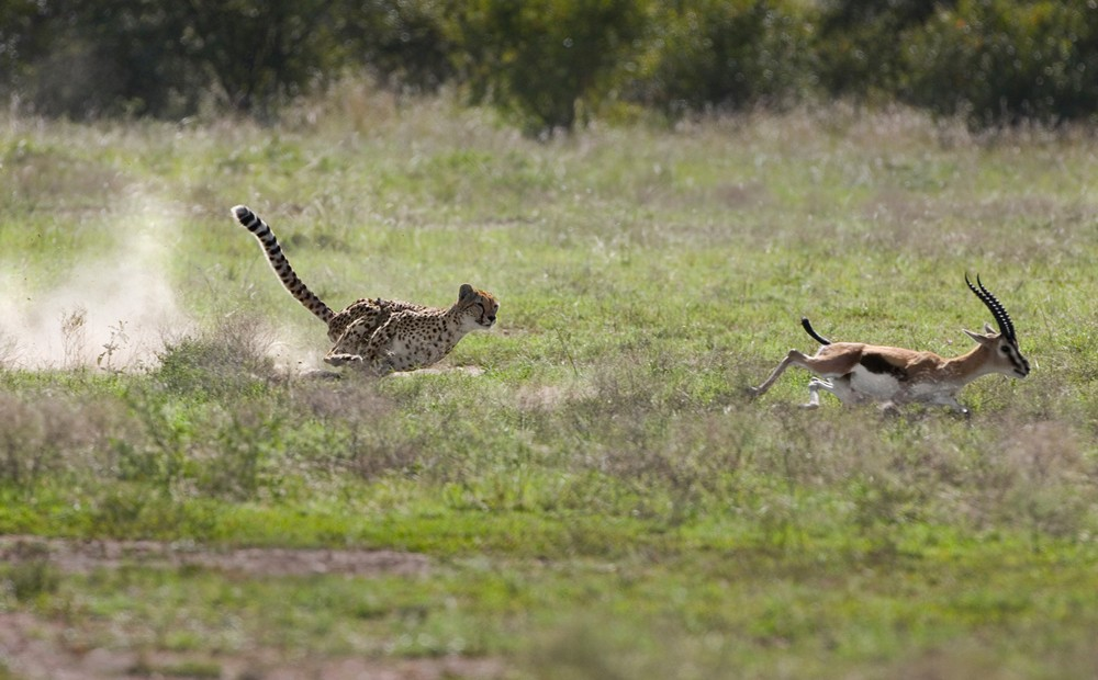 cheetah-hunt-suzi-eszterhas-cheetah-conservation-fund