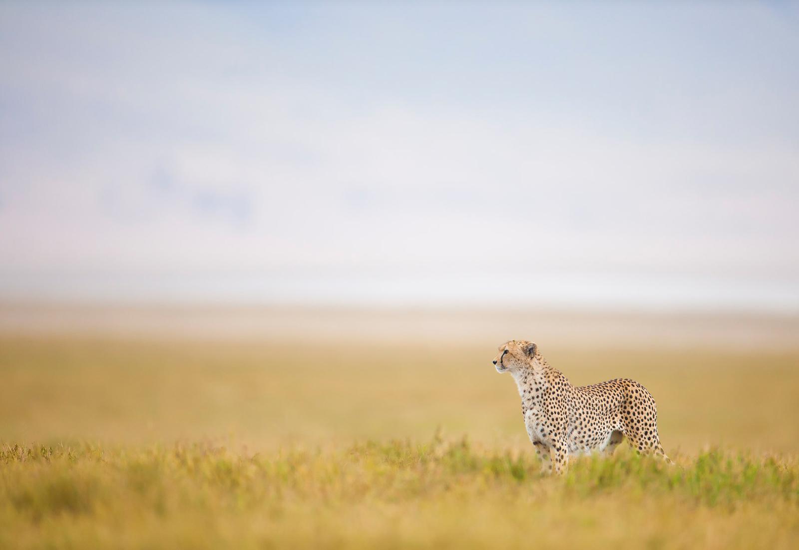 cheetah-wim-van-den-heever