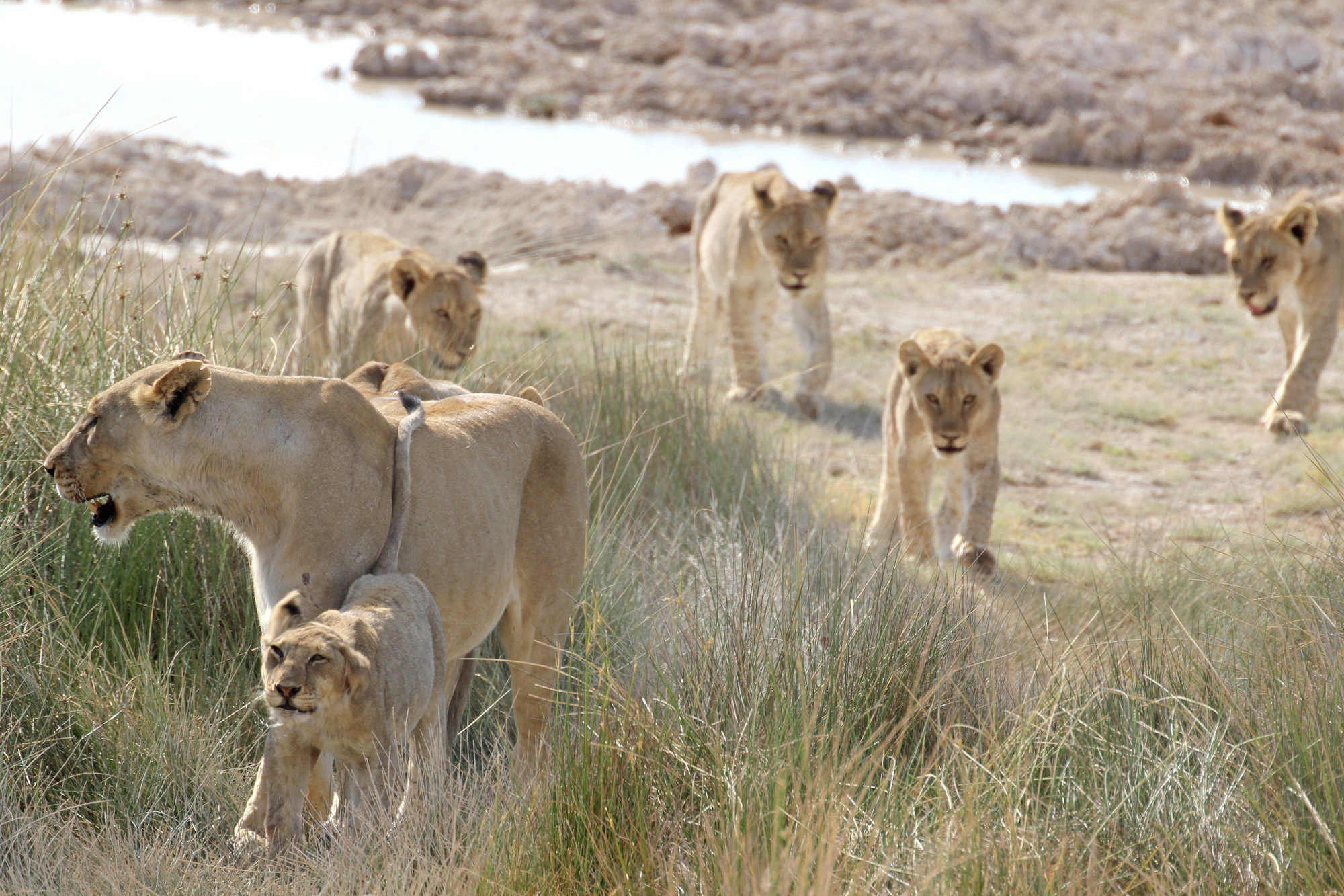 A lioness passes with her cubs in tow ©Janine Avery