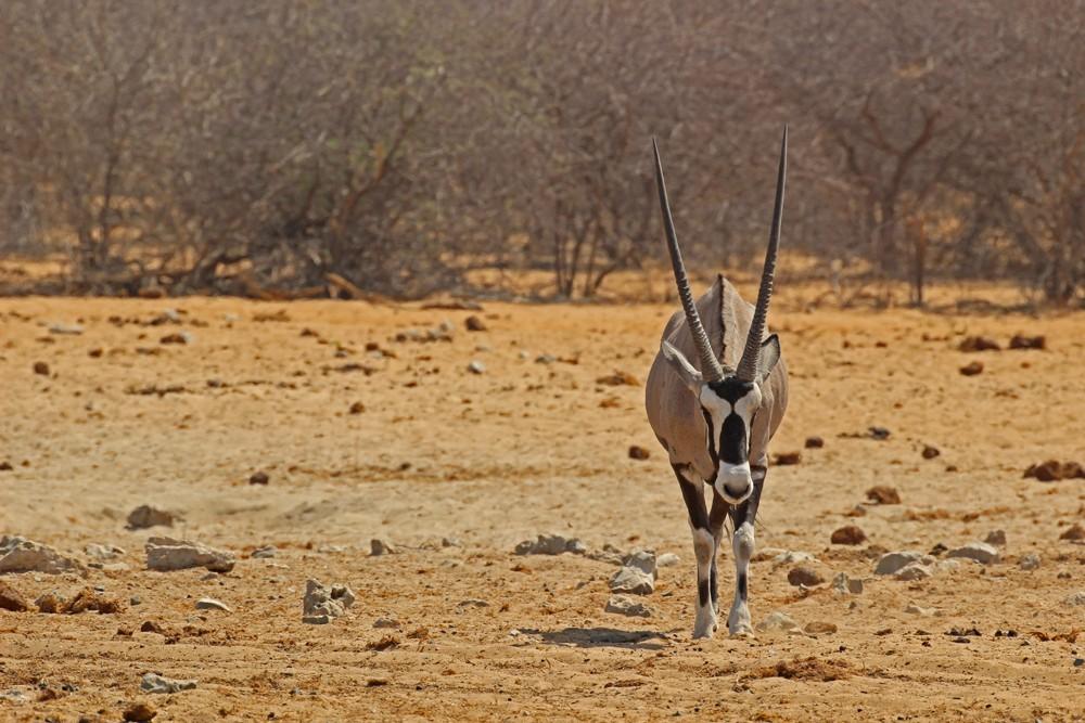 Namibia's national animal holds fort ©Janine Avery