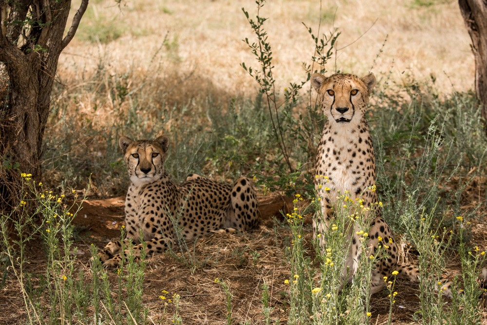 polly-and-rohinni-cheetah-conservation-fund-namibia