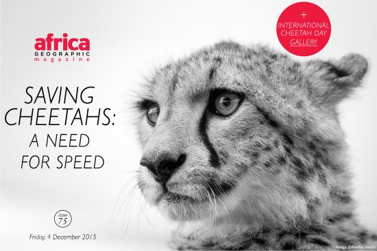saving-cheetahs-a-need-for-speed-issue-75