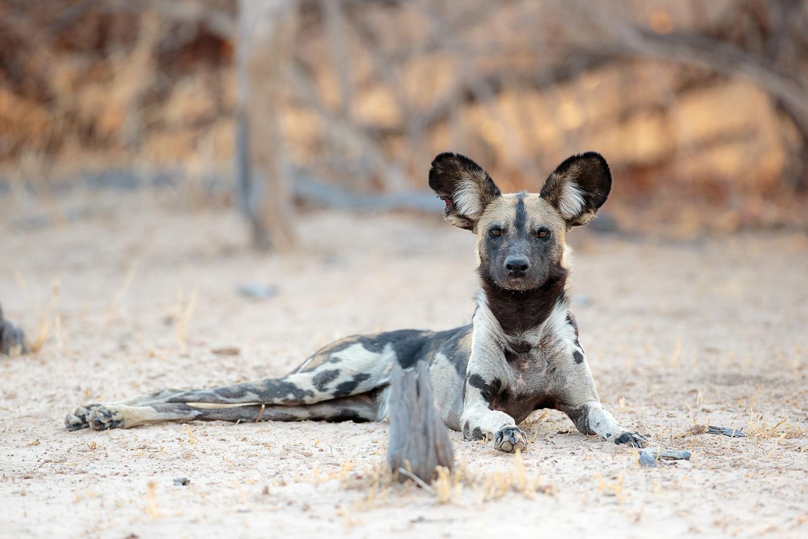 Africa S Wild Dogs Africa Geographic Magazine