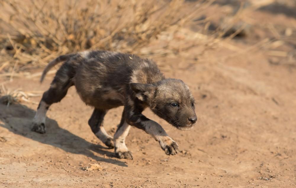 And it must be puppy love! ©Francois Van Heerden