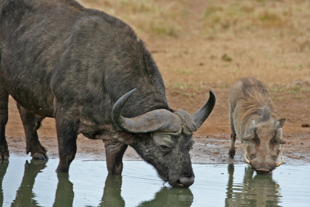 buffalo-warthog-addo-janine-avery