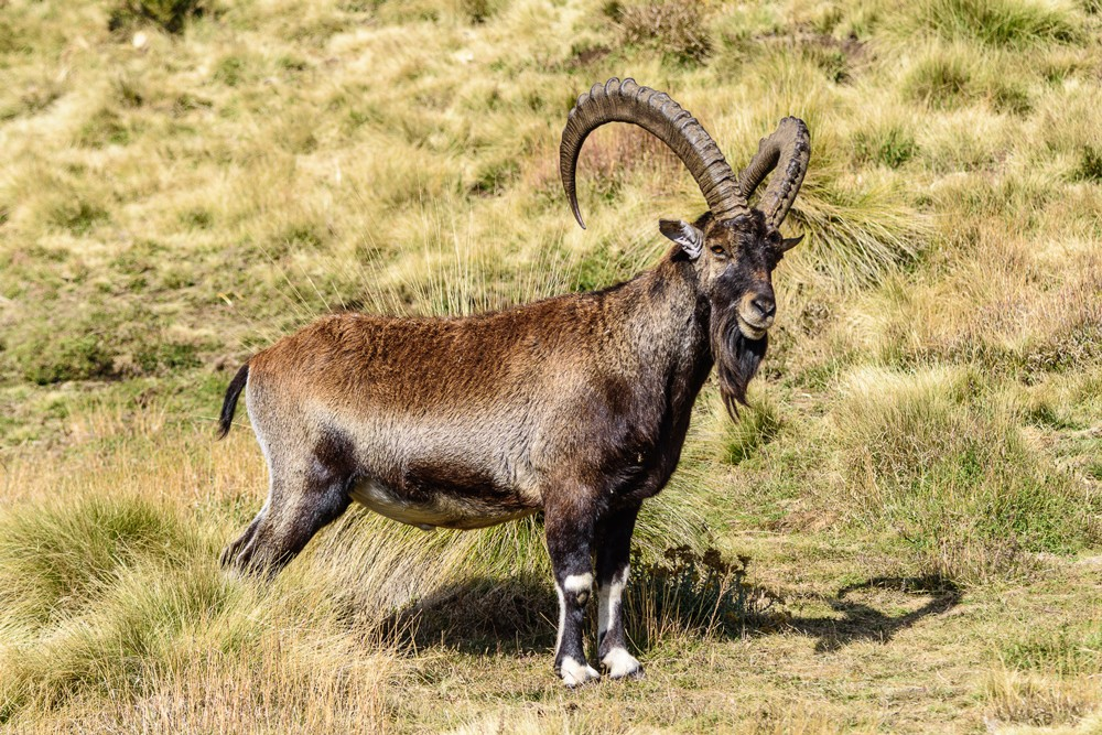 The Critically Endangered walia ibex ©Ken Haley