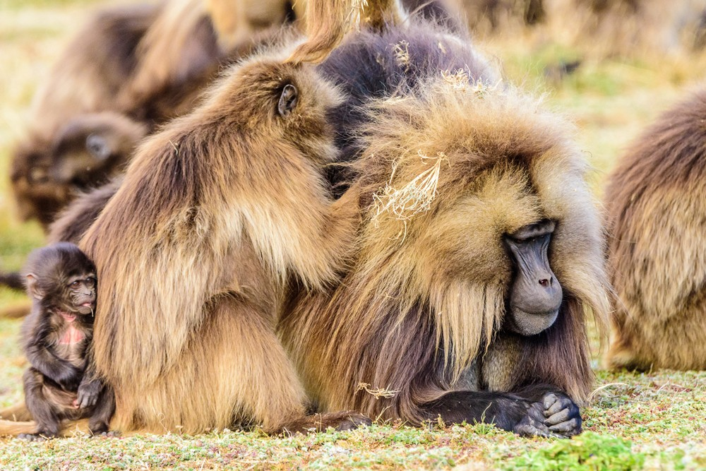 Gelada monkeys keep up appearances ©Ken Haley