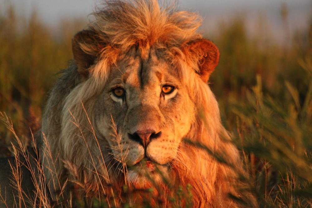 gondwana-game-reserve-lion