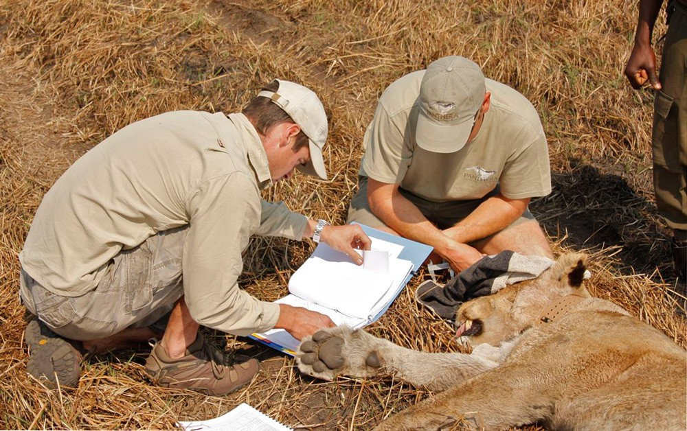 Collaring a lion as part of the Kafue Lion Project ©Chap Masterson