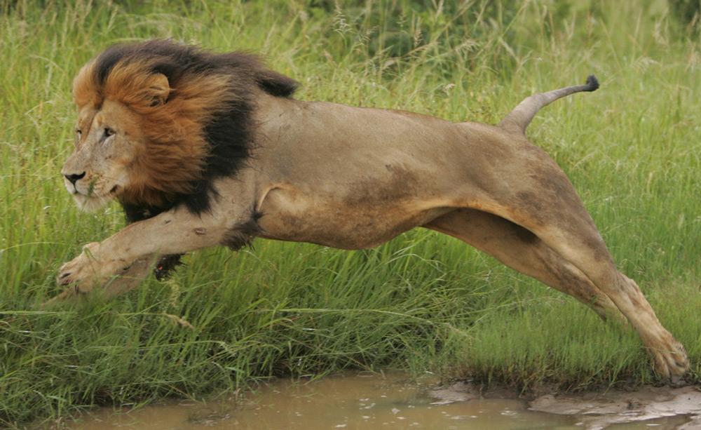 A leap of faith for a lion ©Christian Sperka
