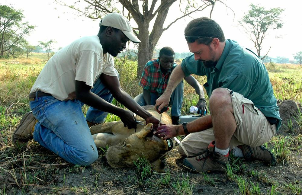 Biologists (left to right) Joel Ziwa, Mustapha Nsubuga and Luke Hunter place a location transmitting collar on a lioness in Kigezi Wildlife Reserve, Uganda ©Panthera