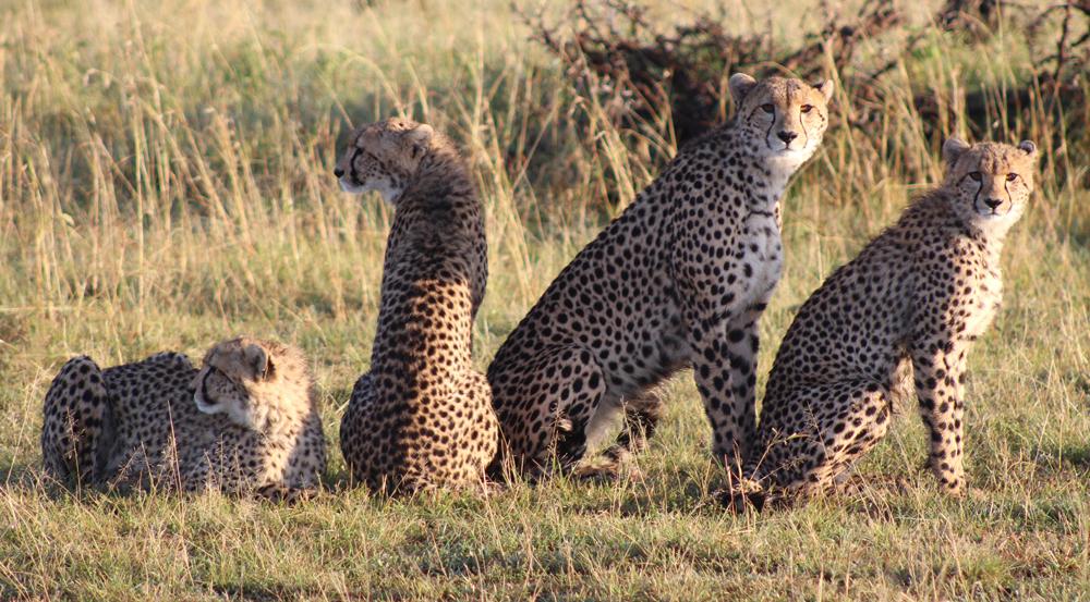 cheetah-family-mara