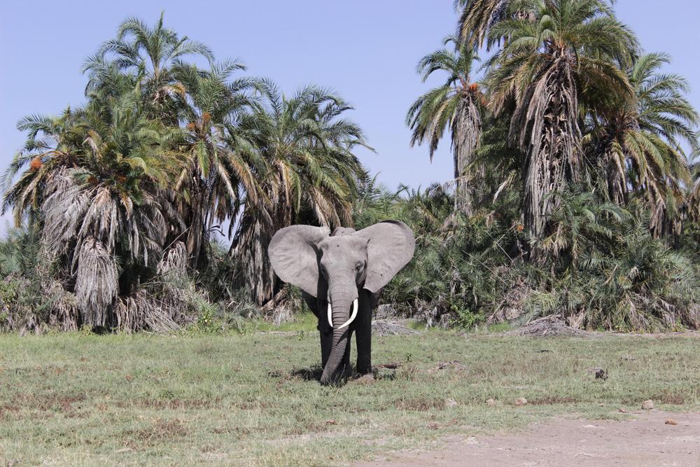 A majestic ellie in Amboseli ©David Winch
