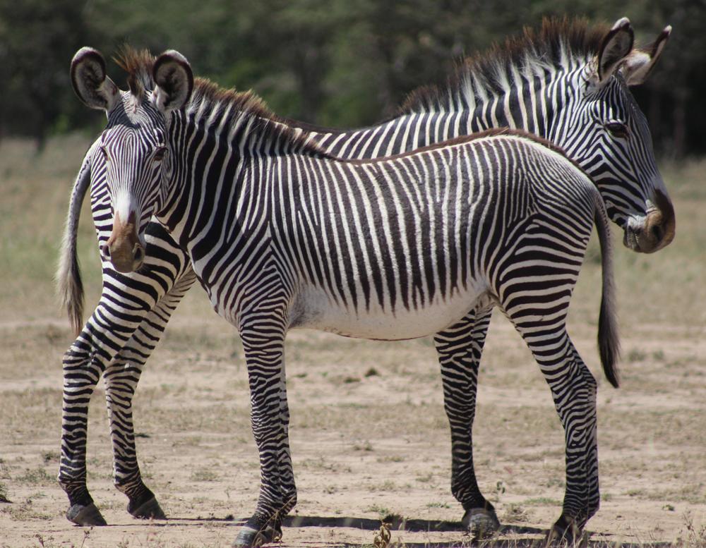 endangered-grevys-zebra