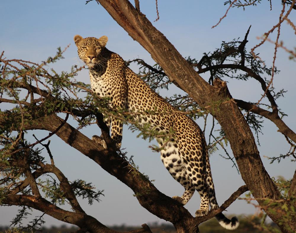 fig-leopard-tree