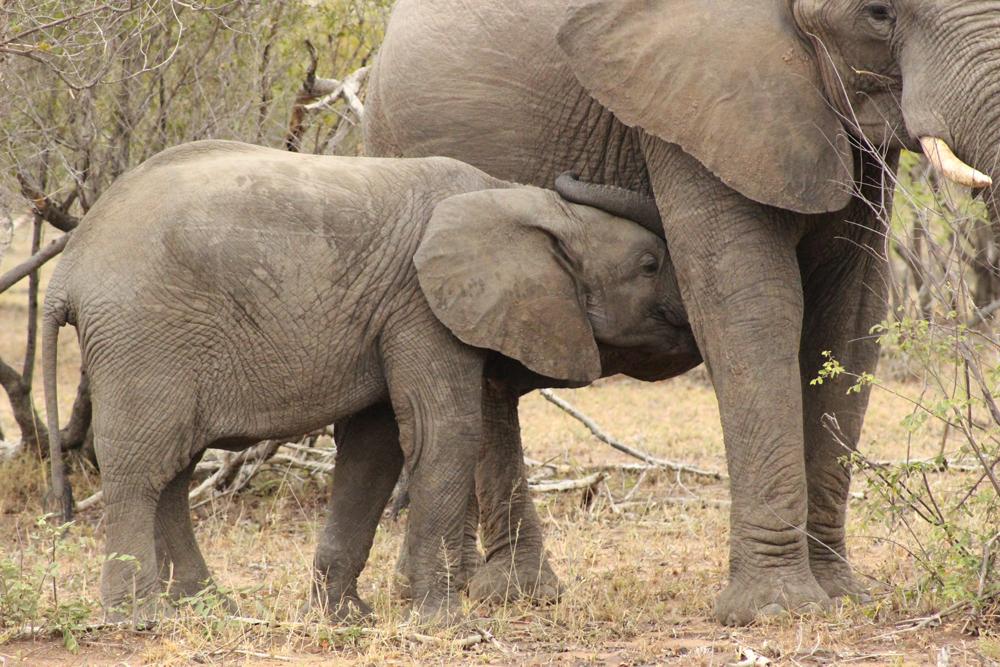 baby-elephant-suckling-umlani-kelly-winkler