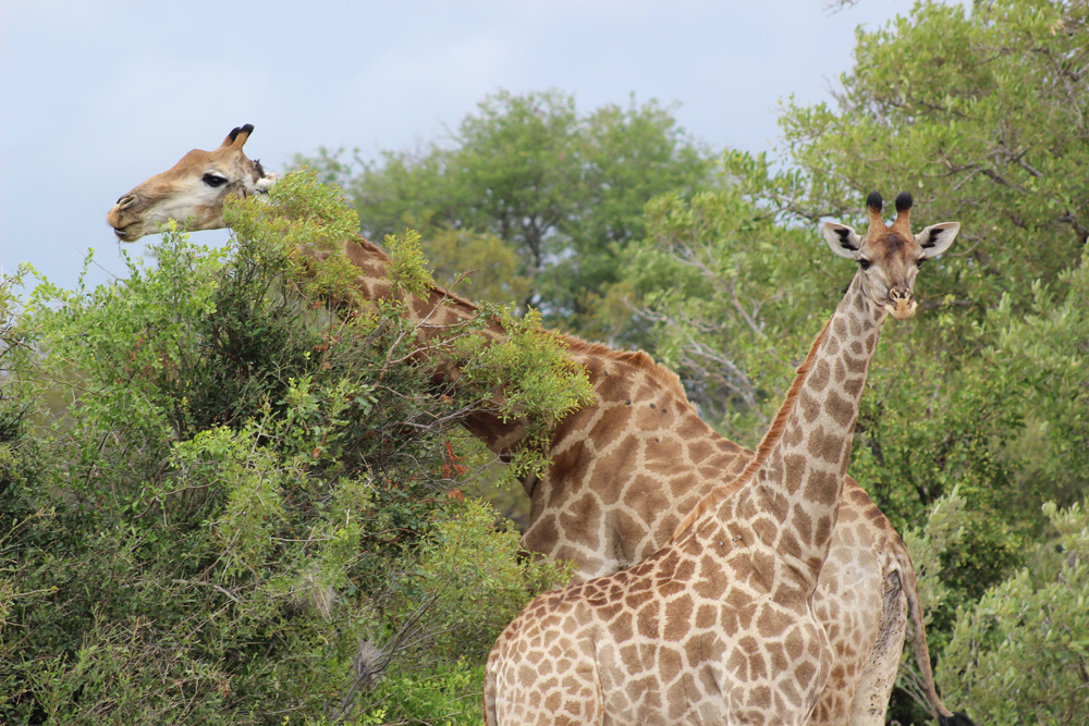 giraffe-umlani-kelly-winkler