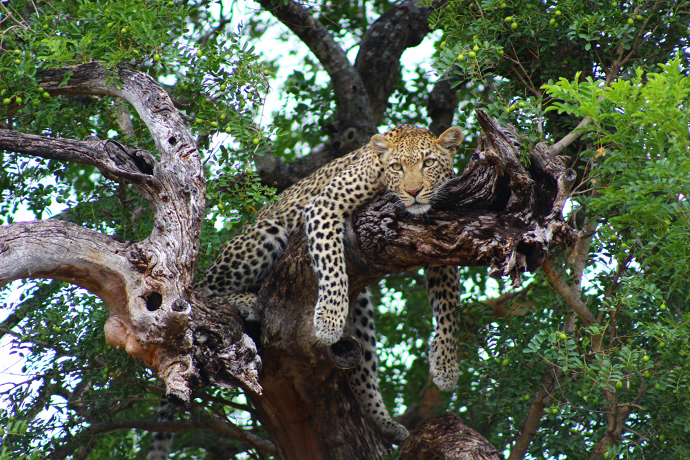 leopard-in-tree-umlani-kelly-winkler
