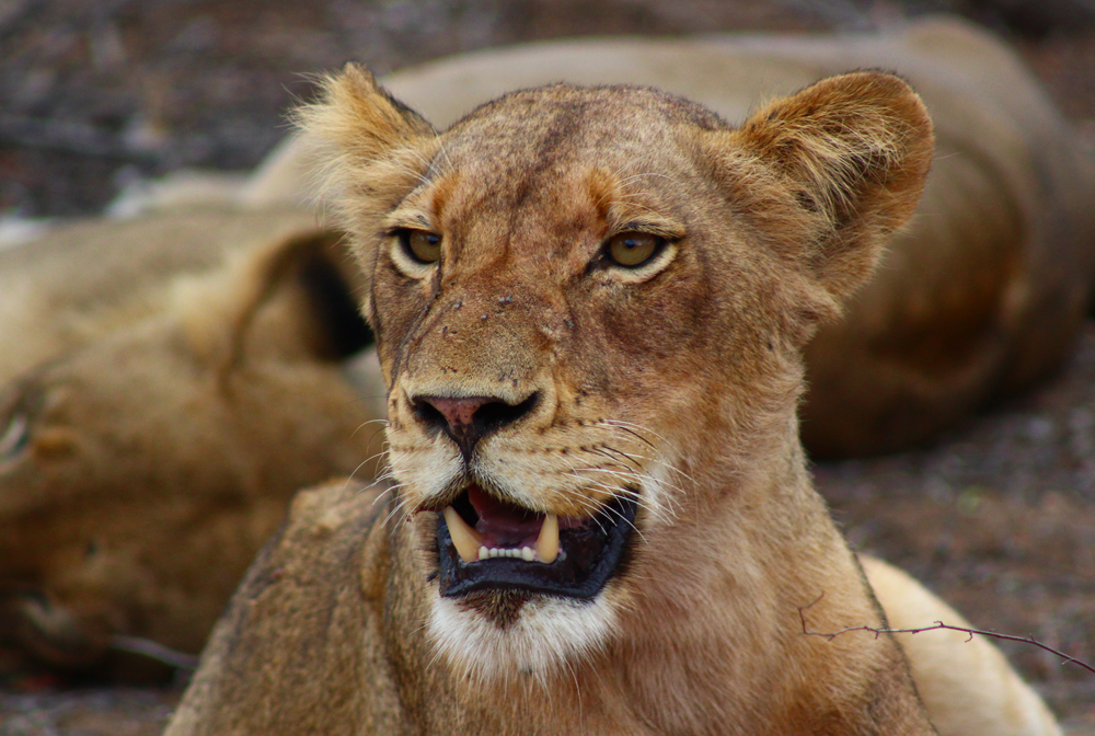 Lioness Face Side