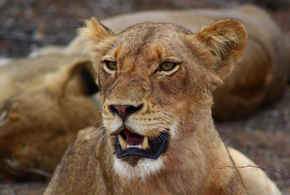 lioness-face-umlani-kelly-winkler