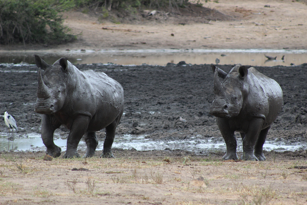 A muddy rhino duo ©Kelly Winkler