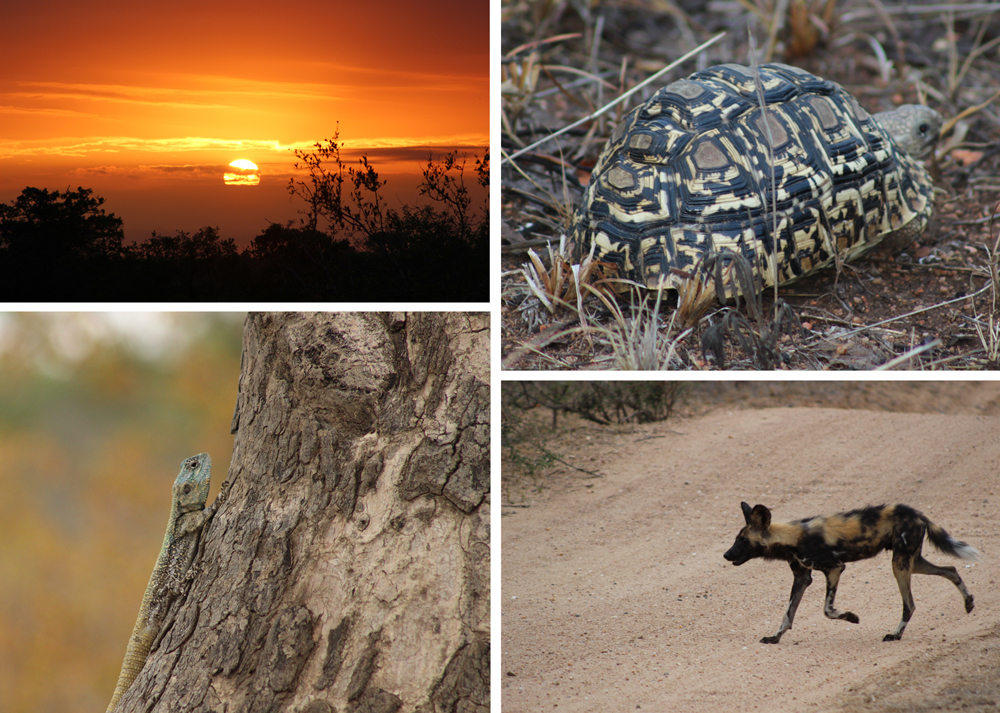 Sunset in the Timbavati (top left); The perfect camouflage (bottom left); A leopard tortoise races past (top right); A wild dog casually crosses the road (bottom right) ©Kelly Winkler