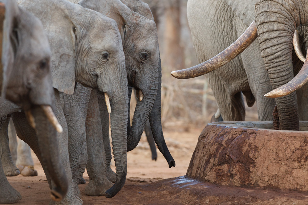 Wild elephants ©The David Sheldrick Wildife Trust
