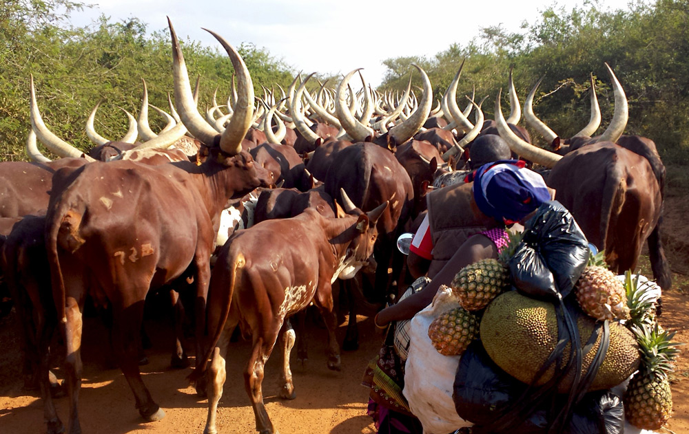 A traffic jam behind a herd of Ankole cattle ©Christian Boix