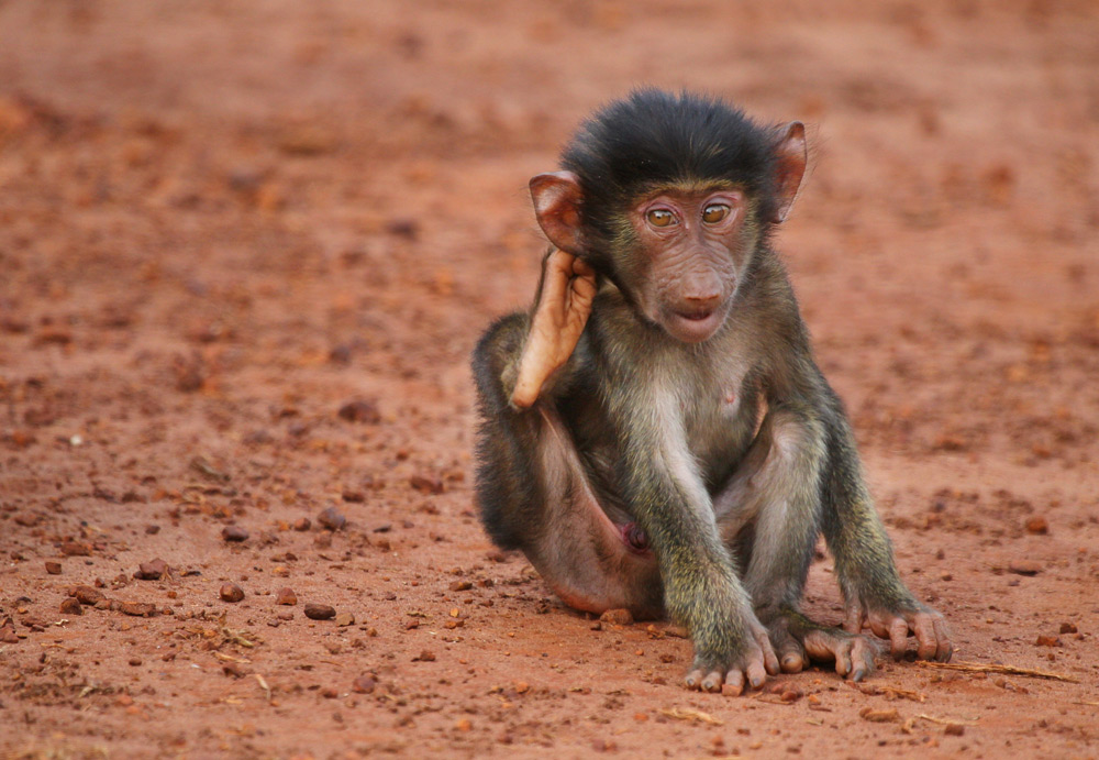 baby-baboon-scratching-behind-ear