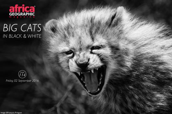 big-cats-francois-pringuet