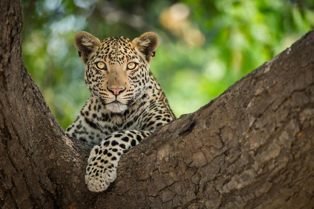 leopard-tree-chobe